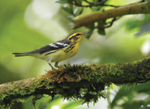 A bird of the coniferous forests of the Northeast, the Blackburnian Warbler is breathtaking in its brilliant orange-and-black breeding plumage. Most numerous in mixed forests of hemlock, spruce, and various hardwoods, usually ranging high in trees. (Cornell Lab of Ornithology and Audubon Society).