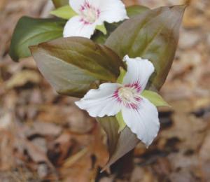 Ohio designated the white trillium (Trillium grandiflorum) as the official wildflower in 1986. Found through-out the central and eastern US, the white trillium is also called wake robin, snow trillium, great white trillium, or large white trillium.